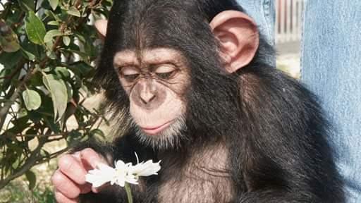La II Giornata Mondiale dello Scimpanzé
